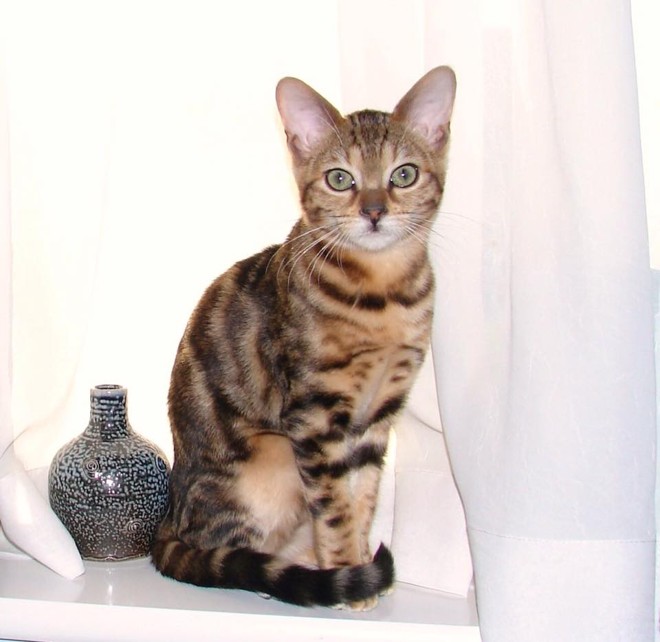 Bengal Cat Association - Welfare
