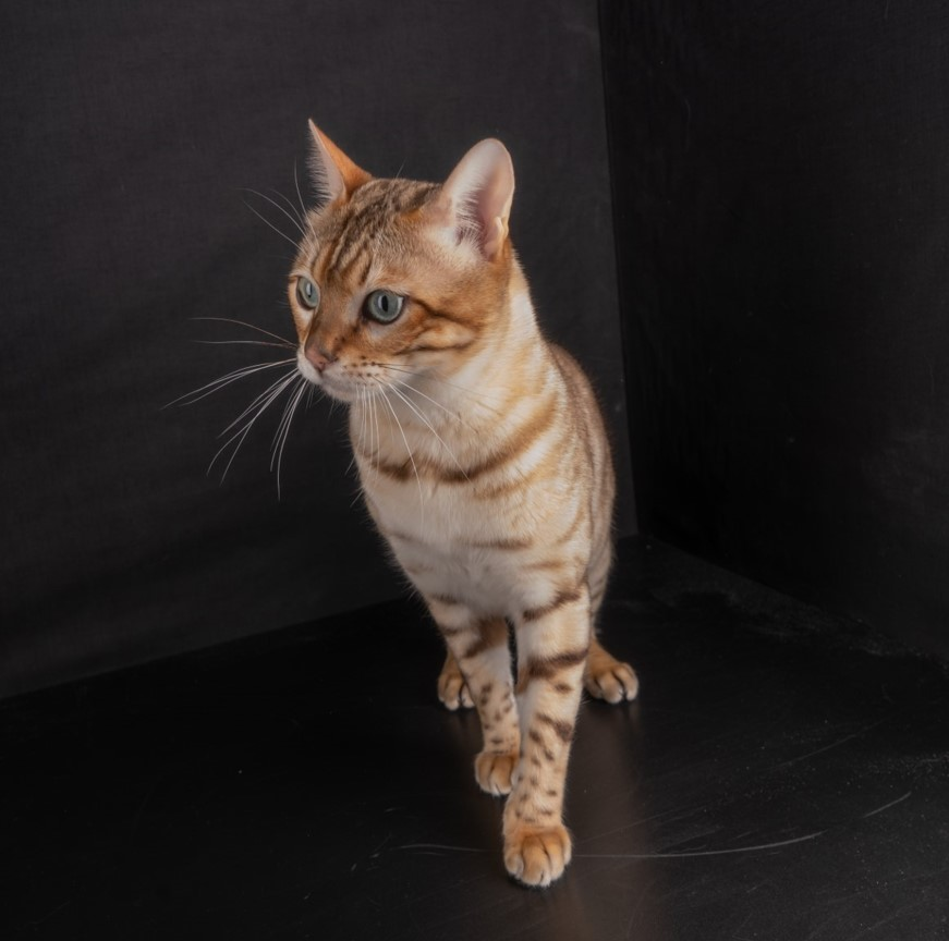 Bengal Stud Available