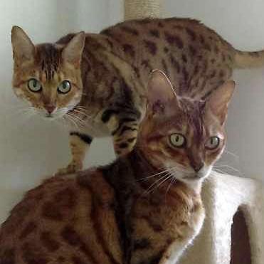 Bengal Cat Association - Welfare